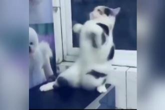 O pisica incepe sa danseze cand stapanul ii pune muzica orientala. Miscarile cu care a devenit vedeta pe internet