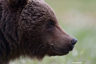 Un urs din Arges, suspectat ca si-a facut un obicei sa patrunda in masini si sa le distruga.