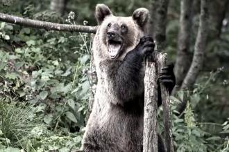 Barbat, din Harghita, internat in spital dupa ce a fost atacat de un urs cand se afla la cules de ciuperci