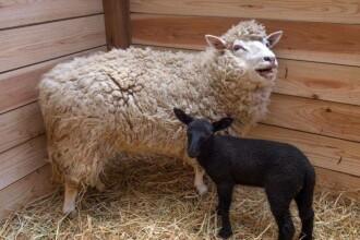 Intamplare neobisnuita la o gradina zoologica din Japonia. O oaie cu blana alba a nascut un miel ... negru