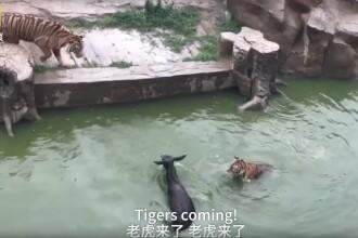 Scandal la o gradina zoologica din China. Investitorii parcului au aruncat un magar viu la tigri, in semn de protest