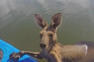 Un pui de cangur din Australia a ramas captiv intr-un canal plin cu apa. Cine a reusit sa-l salveze VIDEO