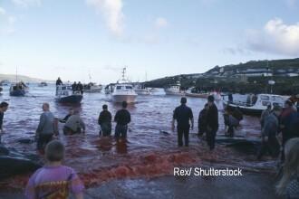 Feroezii au transformat marea intr-o baie de sange, dupa ce ar fi ucis 1000 de balene. De ce le vaneaza in fiecare an. FOTO
