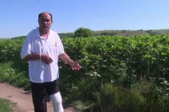 Mistretii terorizeaza o comuna din Vaslui. Un barbat, atacat de un porc, abia a scapat cu viata: