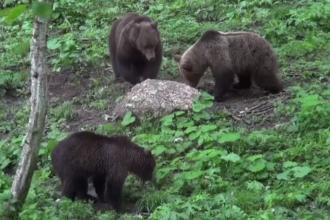 Romania, campioana in Europa la numarul de ursi din paduri. Romsilva: Multi sunt agresivi, ar trebui sa scapam de ei