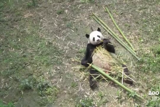 Gradina zoologica din Berlin s-a imbogatit cu doi locatari minunati. O pereche de ursi panda adusi din China