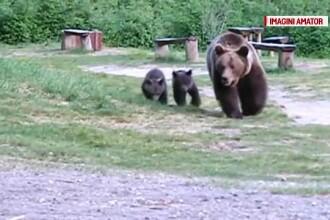 O ursoaică cu 2 pui i-a luat locul lui Şoni la Lacul Sfânta Ana. A venit şi Costel