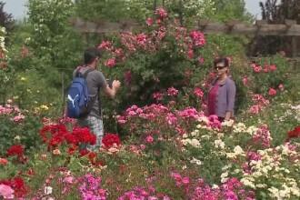 Trandafirul unic în lume care înfloreşte la Arad. Îşi schimbă culoarea de trei ori