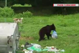 Un urs a fost filmat în timp ce cara câţiva saci de gunoi spre pădure, în Prahova