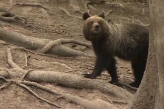 Războiul ONG-urilor cu autoritățile care vor reluarea vânătorii de urși. Mărturia unui director de la Mediu