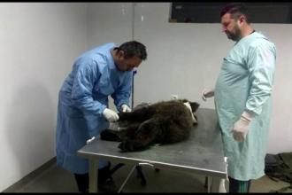Pui de urs din Rezervația Zărnești, operat de urgență. Un picior i-a fost amputat