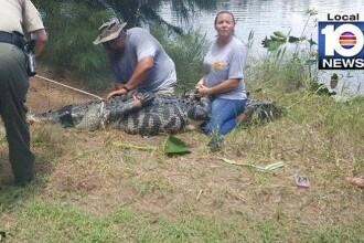 Descoperirea făcută în stomacul unui aligator, lung de peste 3 metri
