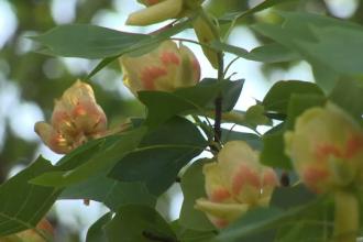 Legenda copacului cu lalele din Aninoasa. Este o raritate la noi