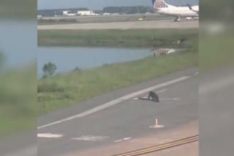 Un crocodil și-a făcut apariția pe o pistă de decolare. Reacția pilotului