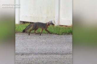 Un pui de vulpe a rămas cu capul blocat într-un borcan. Cum au reușit voluntarii să o ajute