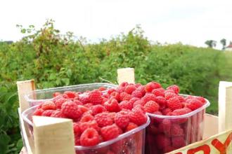 Producătorii de zmeură au sperat că fructele îi vor îmbogăţi, dar au ajuns să vândă pe Facebook