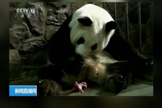 Sărbătoare în China, unde o ursoaică panda a născut doi pui