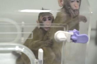 După 7 luni de zile, primele două maimuțe clonate vreodată par să fie sănătoase