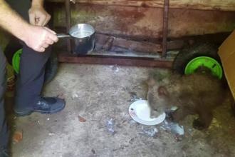 Un pui de urs, căzut în râul Putna, umflat de ploi, salvat de un jandarm din Vrancea