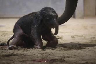 Momentul venirii pe lume a unui elefănțel, într-o grădină zoologică