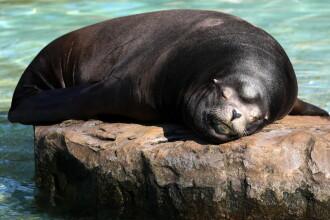 Zeci de foci moarte descoperite pe ţărmurile mărilor arctice. Biologii dau vina pe încălzire