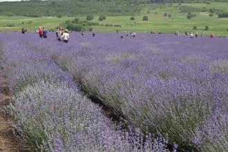 Plantațiile de lavandă, luate cu asalt de turiști: