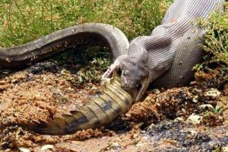 Imagini uluitoare surprinse în Australia: crocodil înghițit de un piton. GALERIE FOTO