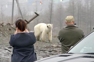Un uriaş urs polar flămând, filmat pe pe străzile unui oraş. Cum a ajuns acolo
