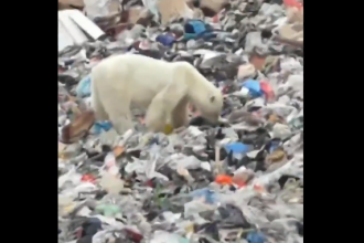 Urs polar înfometat, observat căutând mâncare într-o groapă de gunoi. Video viral