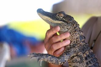 Un aligator orb a fost capturat după ce a intrat într-o fabrică din centrul Chinei