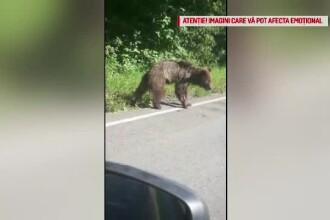 Un urs rănit a murit după ce a agonizat ore în șir în fața oamenilor nepăsători