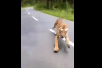 VIDEO. Un motociclist și prietenul său sunt fugăriți de un tigru în India
