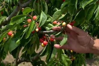 Seceta severă a distrus pomii fructiferi din România. Specialiștii estimează pierderi de 70% în livezi
