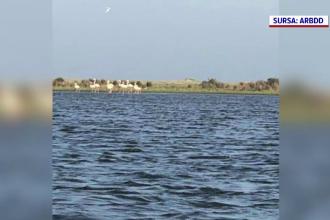 Stol de flamingo în Delta Dunării. Una din cele mai frumoase păsări din lume s-ar putea stabili și în România