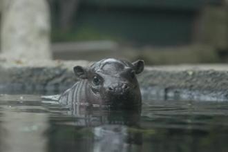 Un pui de hipopotam pitic face senzație la o grădină zoologică din San Diego