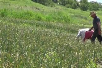 Leguma care ii imbogateste pe fermieri. Un roman s-a intors din Italia ca s-o cultive