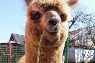 Marian Godină și-a tuns din nou alpaca, iar rezultatul a stârnit hohote de râs. Cum arată Pablo acum