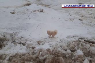 Câine salvat de pe un ghețar din Rusia de echipajul unui spărgător de gheață. Cum a ajuns acolo