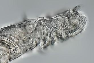Un animal microscopic a supravieţuit 24.000 de ani în permafrostul din Siberia