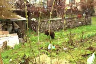 Localnicii unui sat din Mureș sunt terorizați de urs. Sălbăticiunea nu se mai sperie de nimic