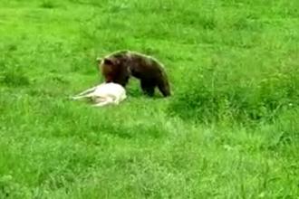 Urșii au semănat teroare în localitățile de pe Valea Mureșului. Sălbăticiunile ucid animale din bătătură