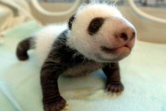 Gradinita de ursuleti panda!
