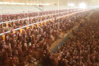 Carnea de pui se va scumpi de la 1 ianuarie 2010 cu peste 20%