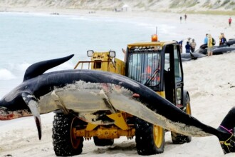 In imagini: Tragedia delfinilor esuati pe o plaja australiana