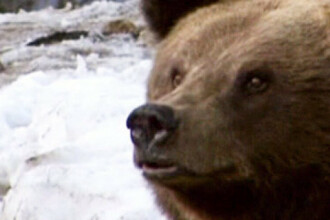 Ursul pacalit de oameni - I. Ignoranta si braconajul nepedepsit:Cum am facut un calau din ursul brun