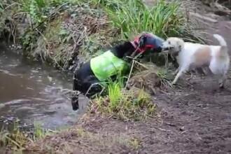 O poveste de prietenie impresionanta. Milo,cainele care ajuta un labrador orb sa se orienteze. VIDEO