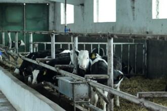 Laptele contaminat cu aflatoxina provine din Romania, nu din Ungaria. Substanta poate fi cancerigena