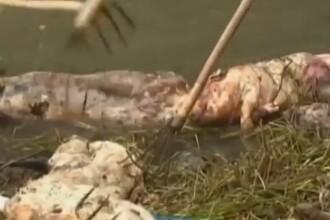 Imaginile care i-au scarbit pe chinezi: 6600 de porci morti aruncati in raul din care beau apa