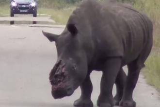 Un rinocer alb a hoinarit cateva zile cu rani grave si un glont in creier intr-un parc national din Africa de Sud
