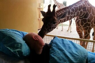 Momentul emotionat in care o girafa isi ia adio de la ingrijitorul aflat pe moarte. FOTO